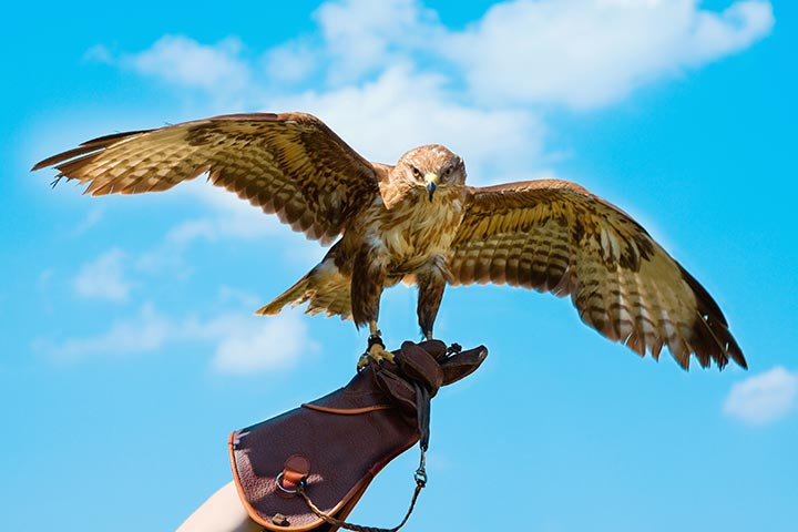 Half Day Introduction To Falconry