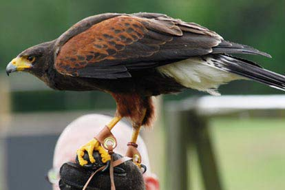 Full Day Introduction to Falconry