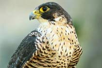 Click to view details and reviews for Full Day Introduction To Falconry.
