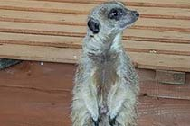 Meerkat Encounter for One at Ark Wildlife Park Thumb