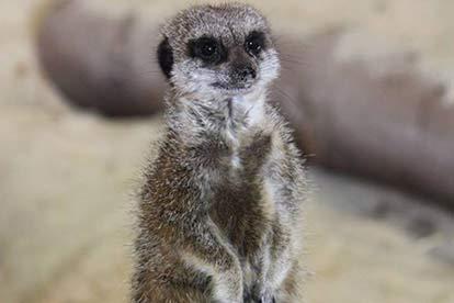 Meerkat Encounter for Teo at Ark Wildlife Park