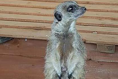Meerkat Encounter for Two at Ark Wildlife Park