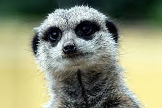 Meerkat Encounter for Two at Ark Wildlife Park