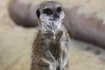 Meerkat Encounter for Two at Ark Wildlife Park Thumb