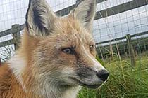 Fox Encounter for One at Ark Wildlife Park Thumb