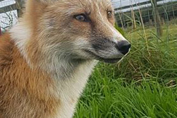 Fox Encounter for Two at Ark Wildlife Park