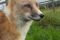 Fox Encounter for Two at Ark Wildlife Park Thumb