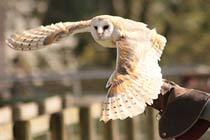 Hawksflight Falconry Birds of Prey Experience Thumb