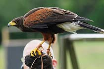 Shadow a Falconer for the day at Coda Falconry