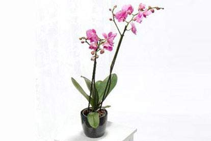 Purple Phalaenopsis With Pot