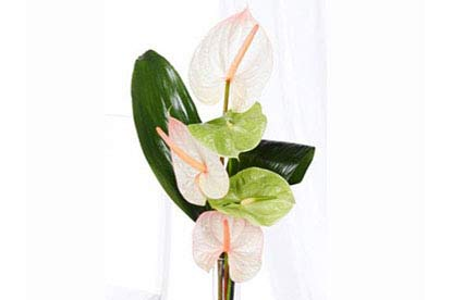 Amazing Anthurium
