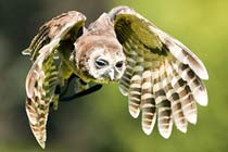 Click to view details and reviews for Owl Handling.