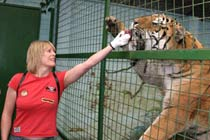 Feed the Big Cats at Paradise Wildlife Park Thumb