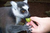 Feed the Lemurs at Paradise Wildlife Park