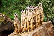 Meet the Meerkats at Paradise Wildlife Park