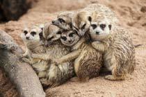 Meet the Meerkats at Paradise Wildlife Park Thumb