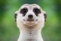 Meet the Meerkats at Paradise Wildlife Park