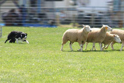 Introduction to Sheep Dog Handling for Two