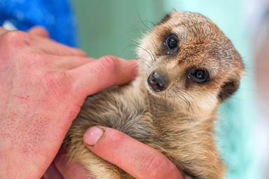 Meet the Meerkats for Two Thumb