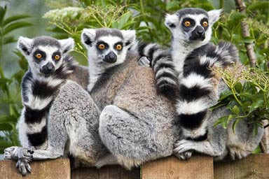 Lemur, Serval & Meerkat Experience Thumb