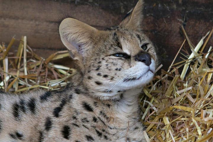Meet the Meerkats, Servals and Lemurs at Hoo Farm for Two
