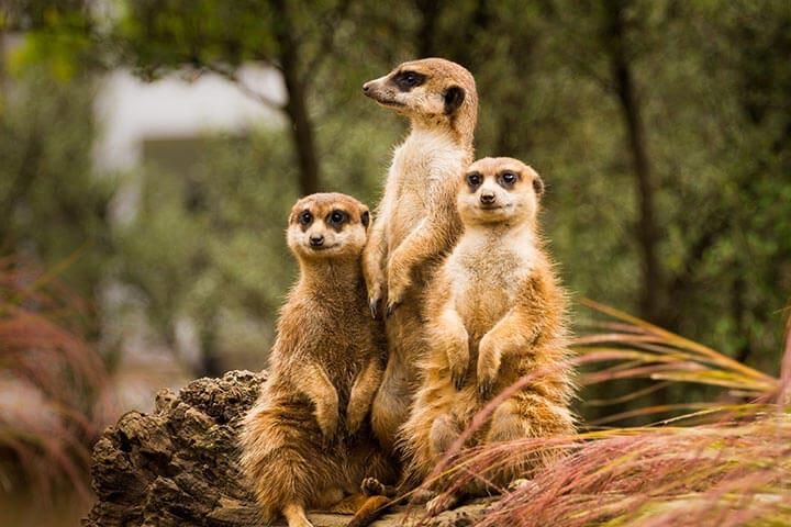 Lemur, Serval & Meerkat Experience