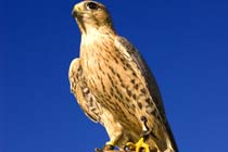 Falconry Taster Experience
