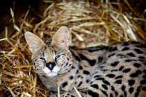 Meet the African Big Cats for Two