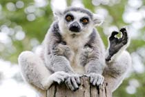 Meet the Lemurs for Two