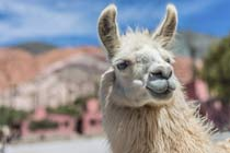 Click to view details and reviews for Llama Walk For Two.
